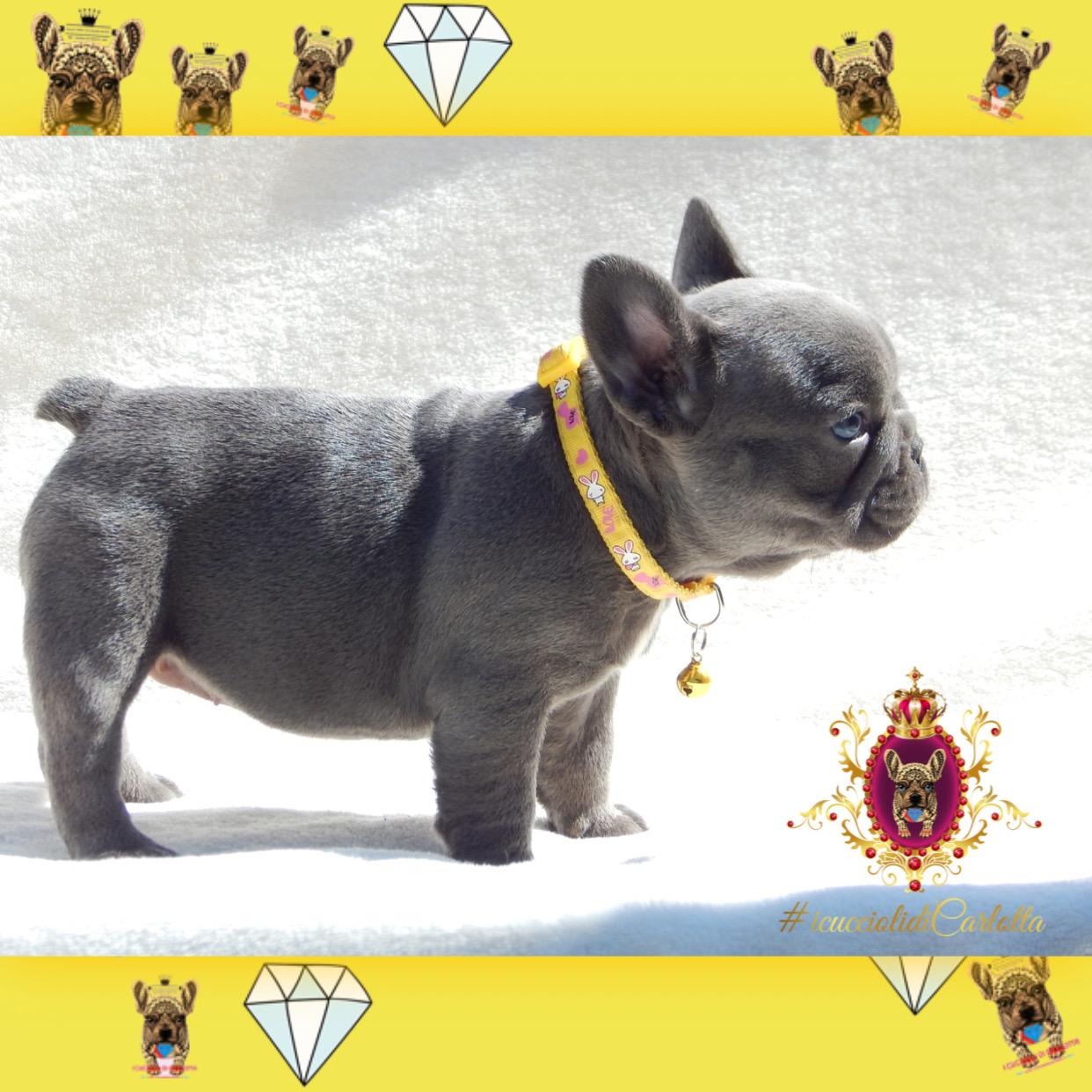 01-bulldog-francese-cucciolo-vendita-allevamento-blu-occhi-azzurri8