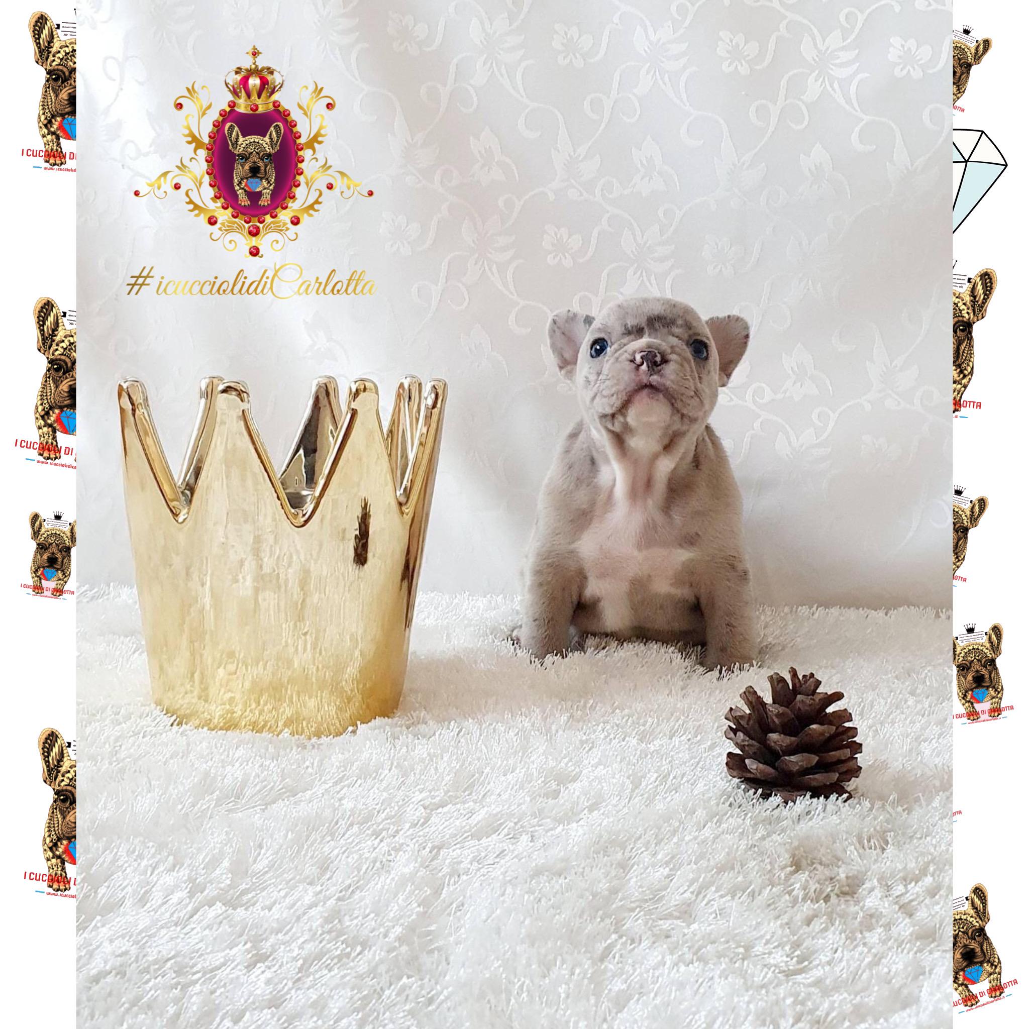 01-bulldog-francese-merle-vendita-cucciolo-allevamento-i-cuccioli-di-carlotta