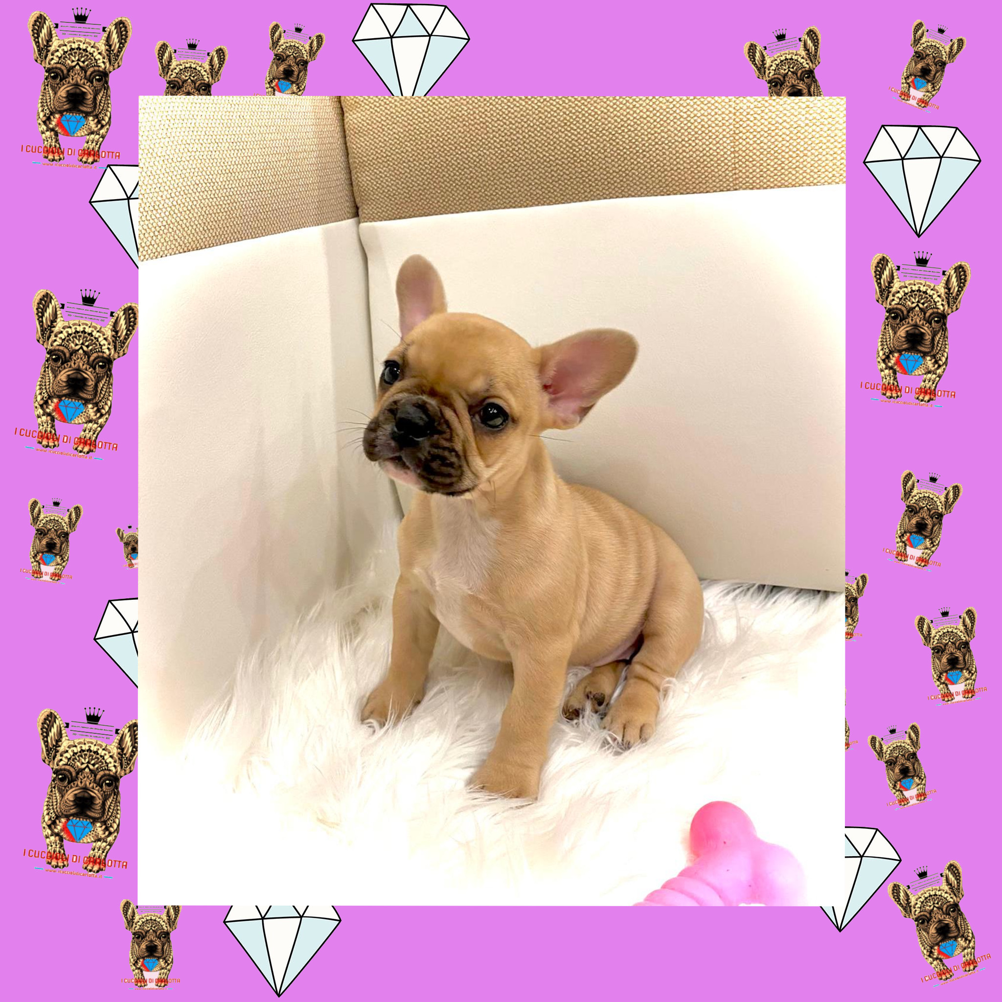 01-cucciolo-bulldog-francese-fulvo-standard-allevamento-vendita