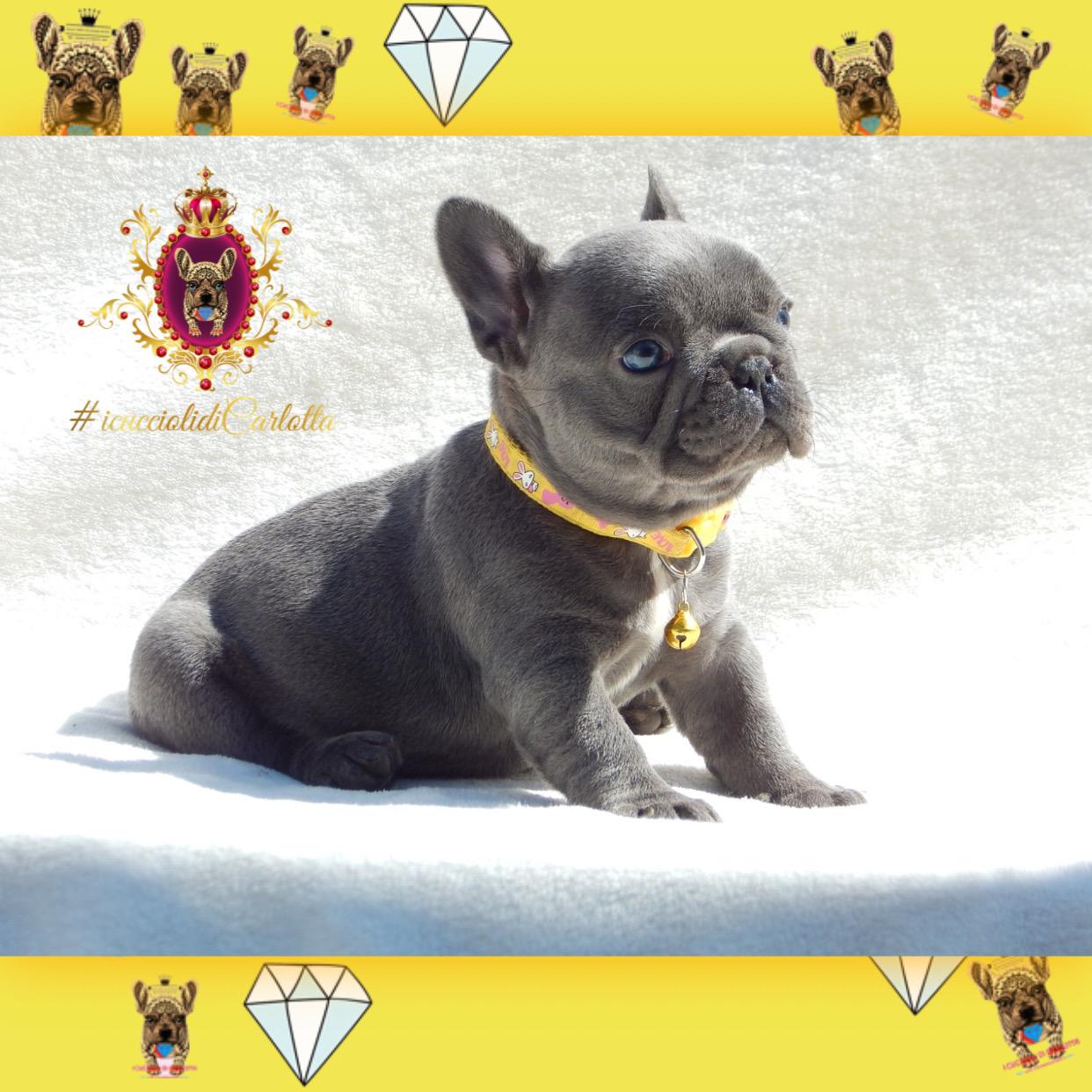 02-bulldog-francese-cucciolo-vendita-allevamento-blu-occhi-azzurri2