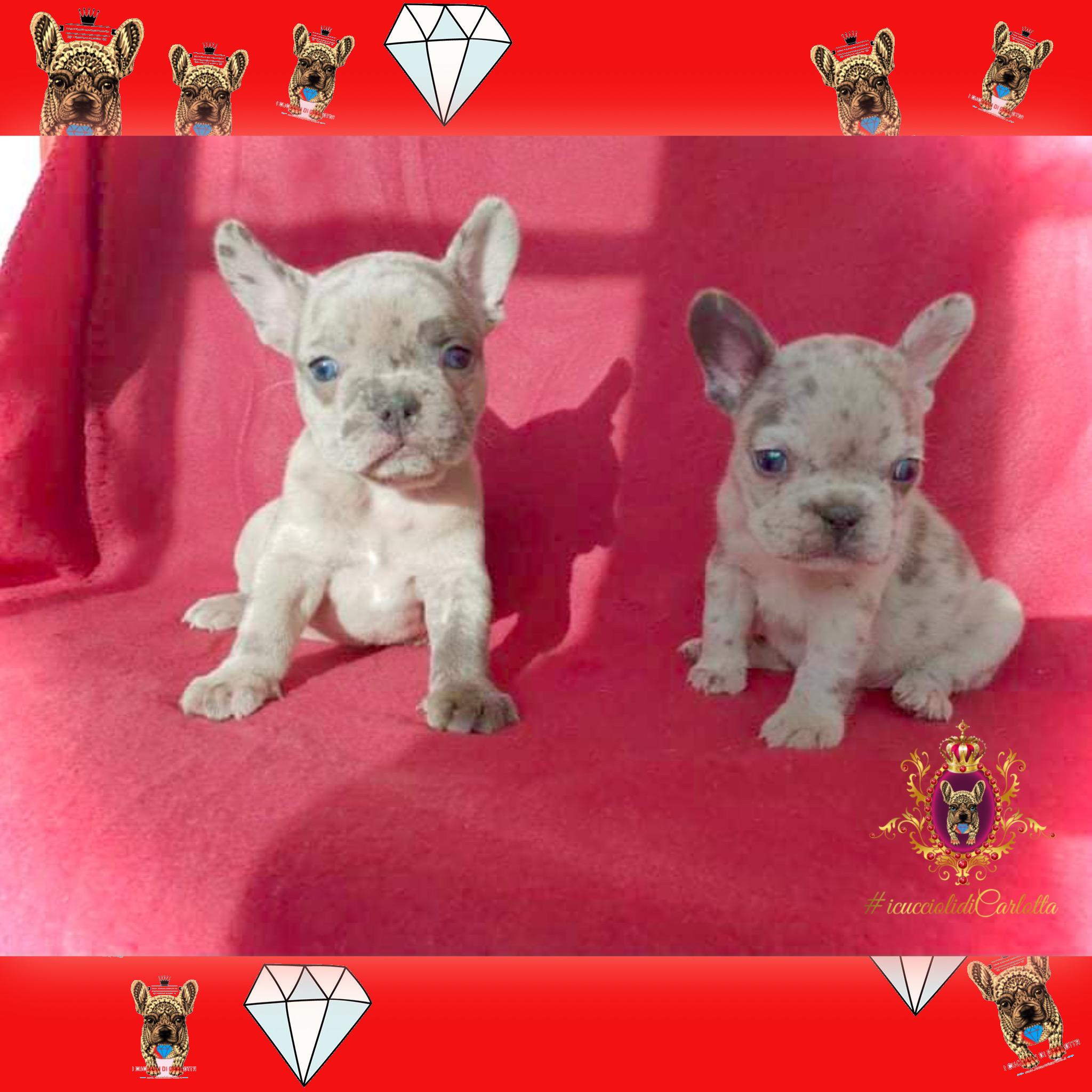 02-cucciolo-bulldog-francese-vendita-allevamento-pedigree