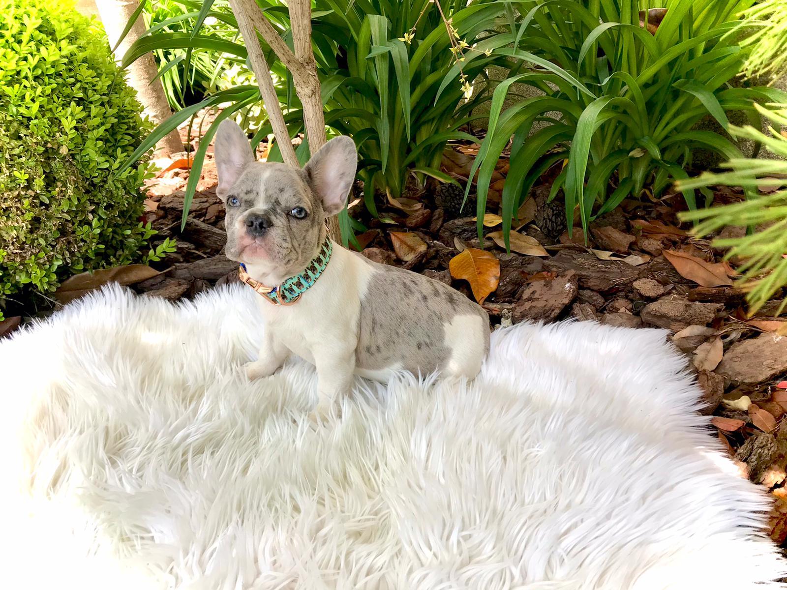 02-i-cuccioli-di-carlotta-bulldog-francese-cucciolo