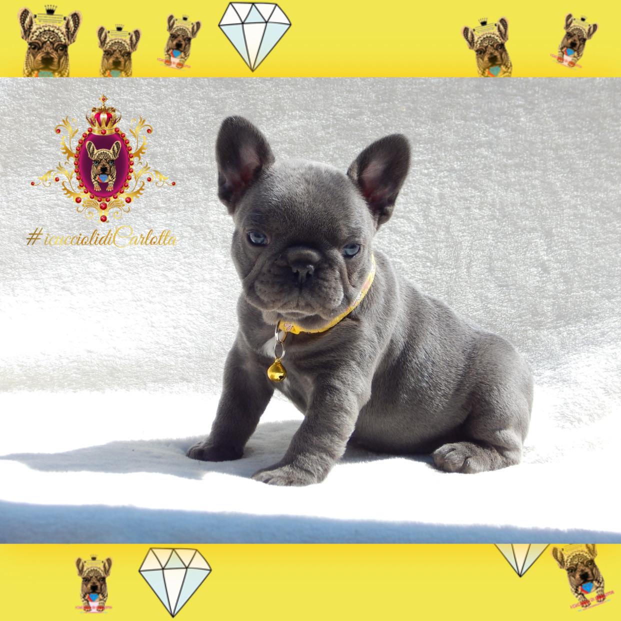 03-bulldog-francese-cucciolo-vendita-allevamento-blu-occhi-azzurri4