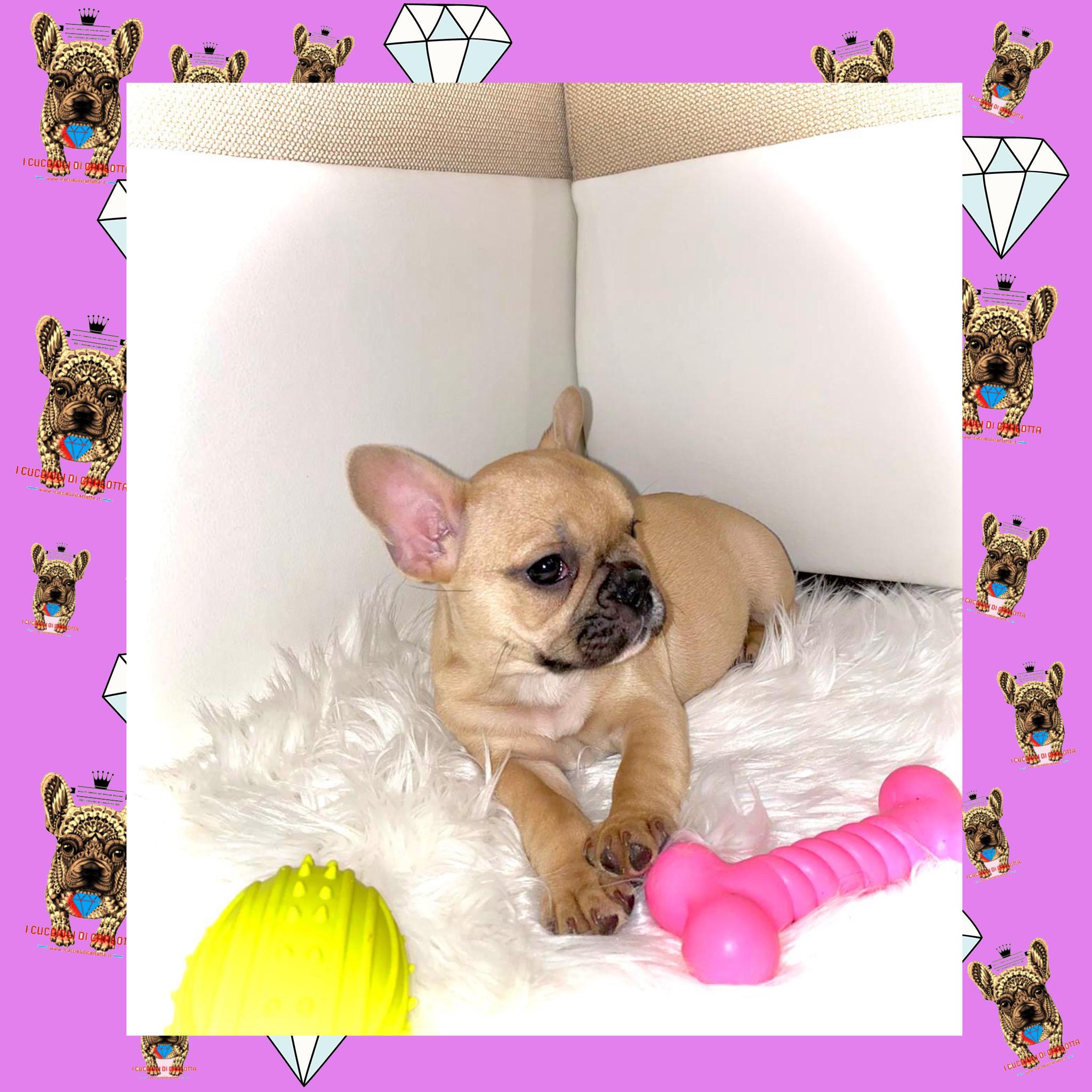 03-cucciolo-bulldog-francese-fulvo-standard-allevamento-vendita