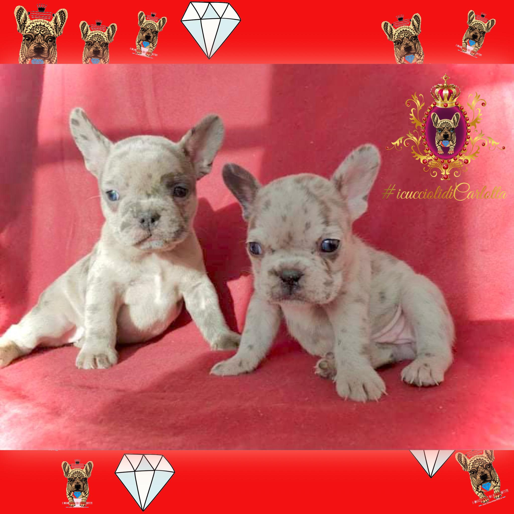 03-cucciolo-bulldog-francese-vendita-allevamento-pedigree