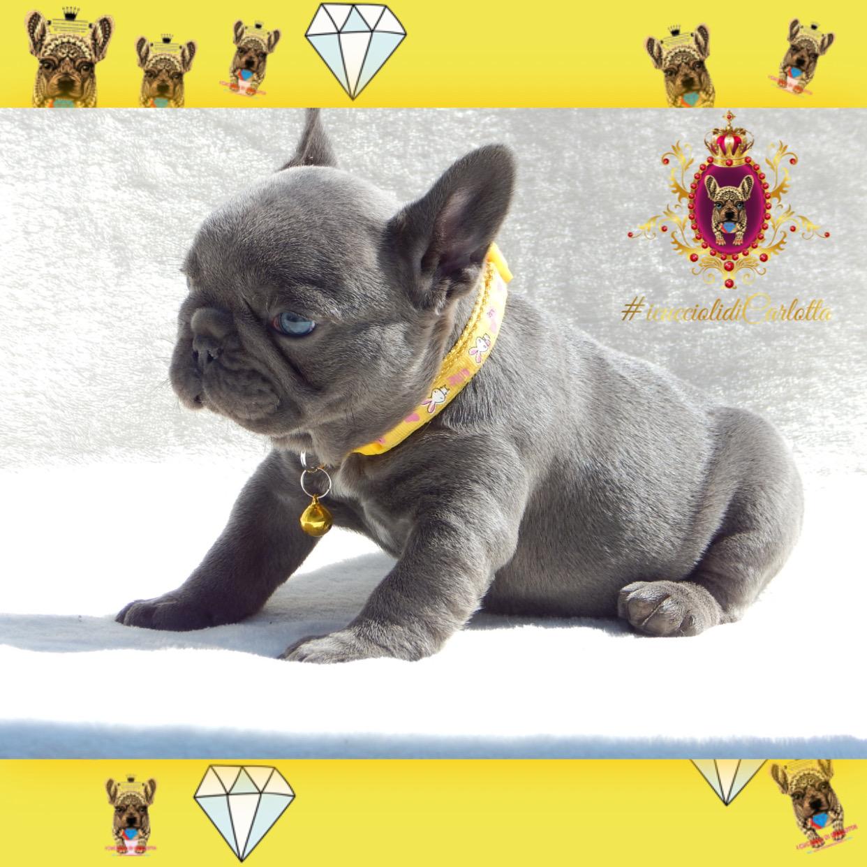 04-bulldog-francese-cucciolo-vendita-allevamento-blu-occhi-azzurri9