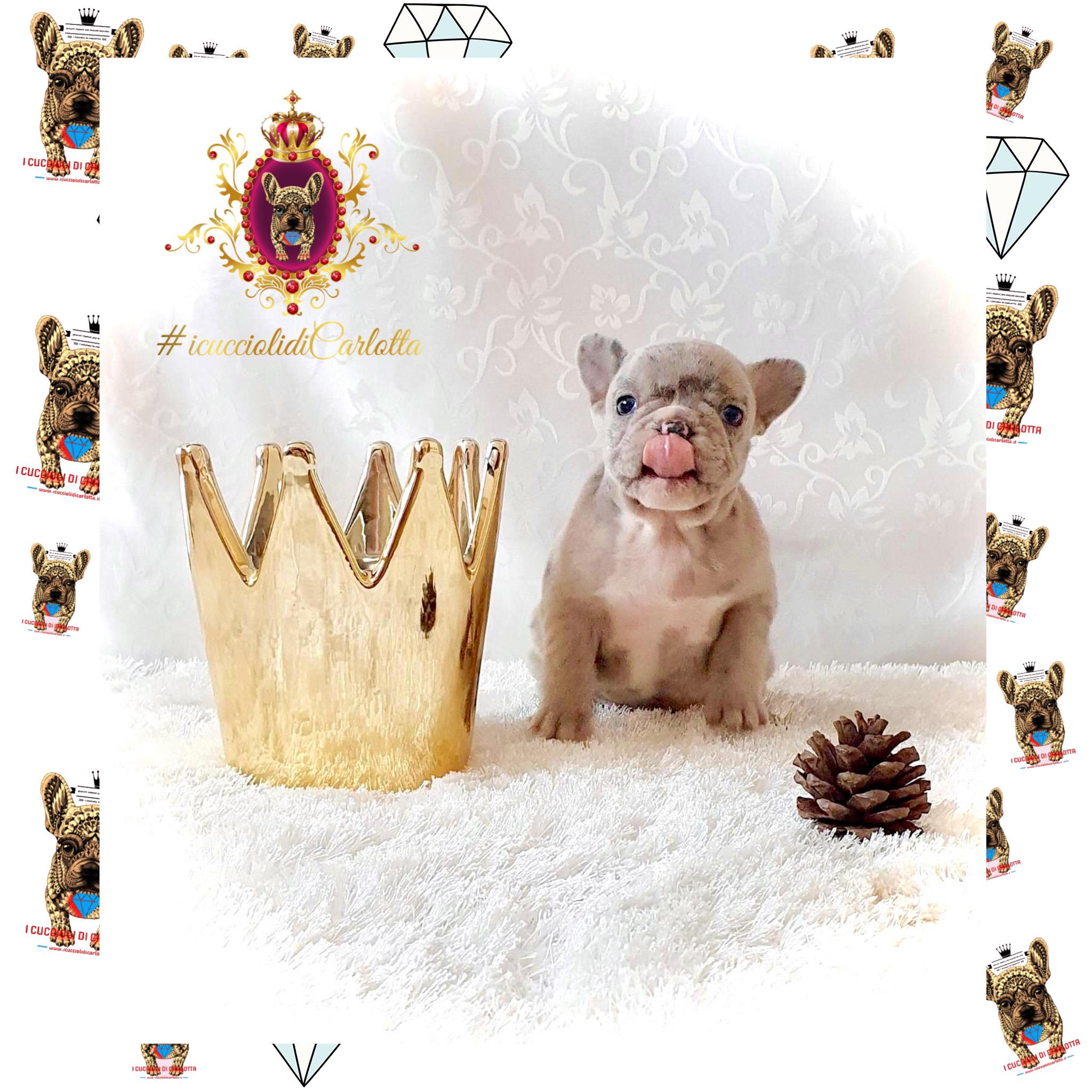 04-bulldog-francese-merle-vendita-cucciolo-allevamento-i-cuccioli-di-carlotta
