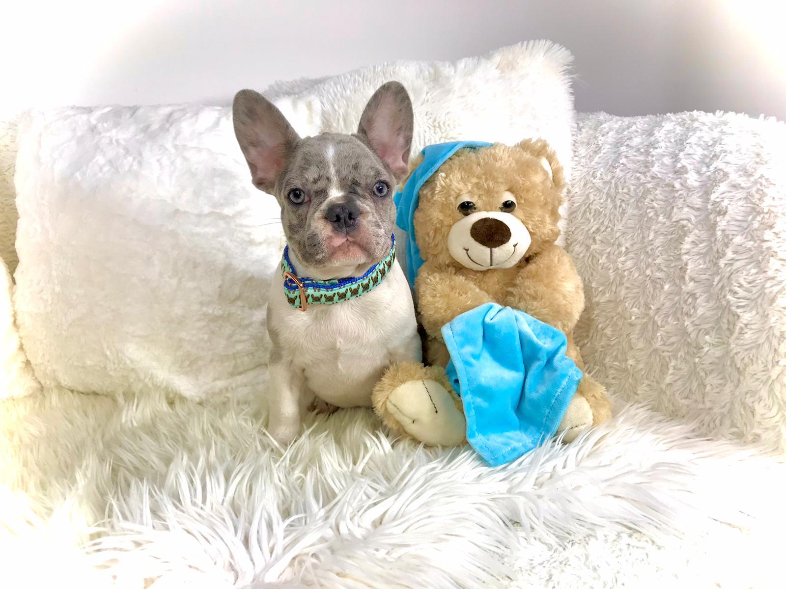 04-i-cuccioli-di-carlotta-bulldog-francese-cucciolo