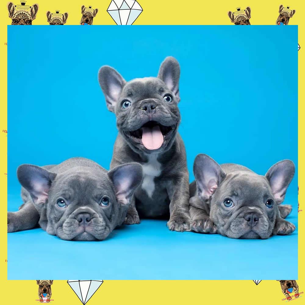 vendita_cuccioli_bulldog_francese_unici_e_di_prestigio_i_cuccioli_di_carlotta_cucciolo_sei_4